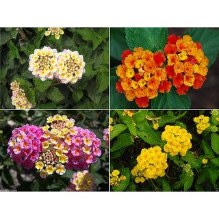 Buy Lantana Flower Hybrid Mix Varieties Pack Good Growing Online