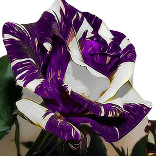 Futaba Mixed Purple And White Rose Seeds - 150 Pcs