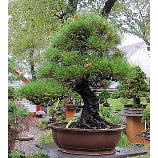 Bonsai Plant Agoho Outdoor Bonsai Tree Seeds For Indian Climate-10 SEEDS
