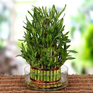 Lucky Bamboo Seeds For Planting Indoor Bonsai Plant Seeds 40 seeds