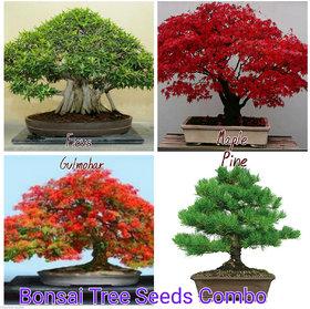 Bonsai Tree Seeds Combo - Red Maple, Bonsai Ficus ,Bonsai Pine , Bonsai Gulmohar