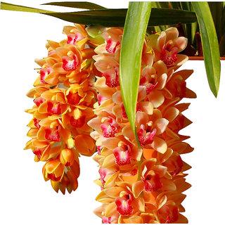 Futaba Cymbidium Maxillaria Goeringii Noble Orchid Seed - 20 Seeds