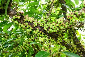 Peepal - Arasampazha (Fruit) Powder 200Grams (50GrmsX4Packs)
