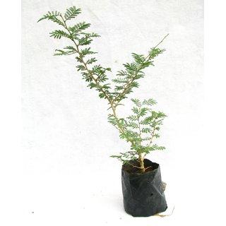Shammi plant