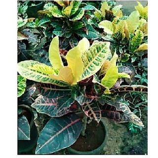 Croton Verigta