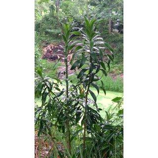 Bharangi (Clerodendrum Serratum) Live garden Plant