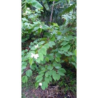 Kachnar (Bauhinia acuminata) live ornamental flower plant