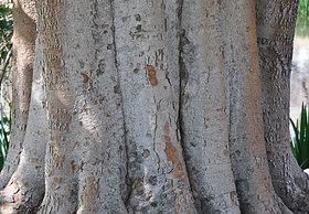 Bargad- Aalam Pattai (Bark Peel) Powder 200Grams (50GrmsX4Packs)