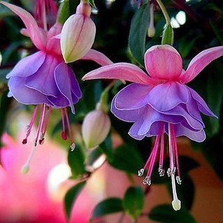 Futaba Lantern Flower Fuchsia - 100 Pcs
