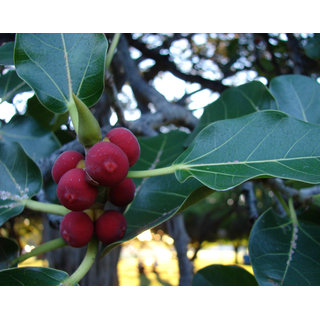 Bargad- Aalampazham (Fruit) Powder 200Grams (50GrmsX4Packs)