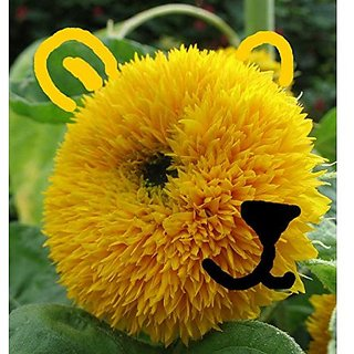 Flower Seeds : Suryakaanti Teddy For Pot Home Garden Balcony Flower Seeds Plant Seeds Exotic (17 Packets) Garden Plant Seeds By Creative Farmer
