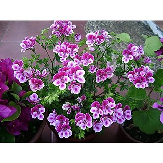 Flower Seeds : Godetia Spring Blooming Annual Flower Seeds Hybrid Organic Seeds Garden Home Garden Seeds Eco Pack Plant Seeds By Creative Farmer