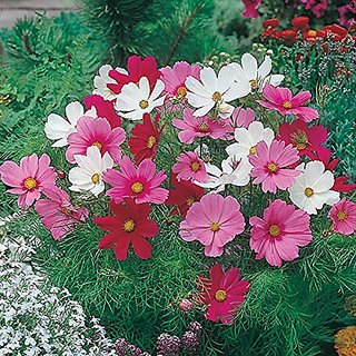 Flower Seeds : Brahmaand Phool Cosmos For Containers Flower Seeds Hanging Everblooming Flowers Garden Home Garden Seeds Eco Pack Plant Seeds By Creative Farmer