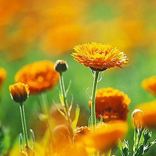 Flower Seeds : English Marigold Garden Seeds Garden Seeds Packet Garden Home Garden Seeds Eco Pack Plant Seeds By Creative Farmer