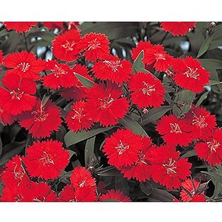 3cb80bd7638c Buy Flower Seeds   Dianthus-Scarlet Red Mix Garden Seeds For Home (19  Packets) Garden Plant Seeds By Creative Farmer Online - Get 55% Off