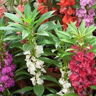 Flora Fields Balsam - Camellia Flower Mix