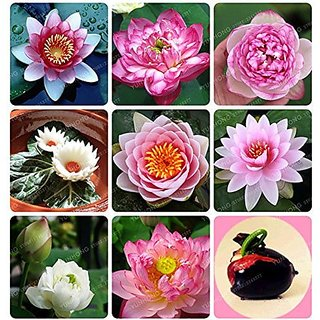 Flower Seeds : Lotus Seeds For Pots 15 Seeds- Mixed Seeds Garden Home Garden Seeds Eco Pack Plant Seeds By Creative Farmer