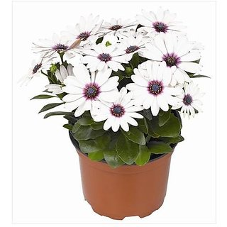 Flower Seeds : Deep Purple African Daisy Plant Seeds Hybrid Plants Seeds For Balcony (25 Packets) Garden Plant Seeds By Creative Farmer