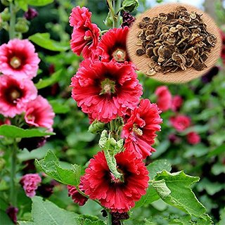 Flower Seeds : Hollyhocks Powderpuff Double Mixed Garden Seeds Flowers Plant Seeds For All Seasons Garden Home Garden Seeds Eco Pack Plant Seeds By Creative Farmer