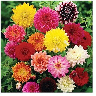 Flower Seeds : Dhalia Yellow Rose And White Mix Seeds Of Flower Garden Home Garden Seeds Eco Pack Plant Seeds By Creative Farmer