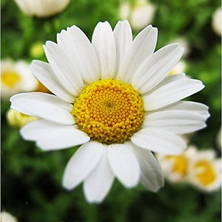 Flower Seeds : Chrysanthemum-Paludosom White Garden Seeds Packets Suitable For Grow Bags/Pots/Containers Garden Home Garden Seeds Eco Pack Plant Seeds By Creative Farmer
