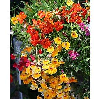 Flower Seeds : Nemesia- Genus Of Annual Perennials Path Hedge Garden (15 Packets) Garden Plant Seeds By Creative Farmer