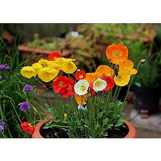 Flower Seeds : California Sunlight -Eschscholzia Plant Flowers Seeds For Balcony (25 Packets) Garden Plant Seeds By Creative Farmer