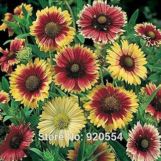 Flower Seeds : Gaillardia Pulchella Bicolor Exotic Flower Seeds (17 Packets) Garden Plant Seeds By Creative Farmer
