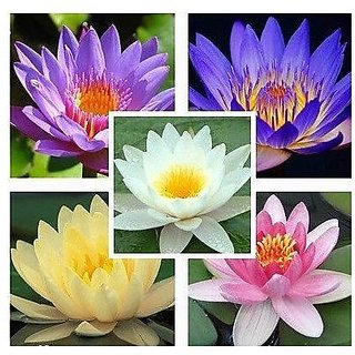 Flower Seeds : Lotus Flower Seeds Mixed Colour 15 Seeds- Plants Seeds For Home India Garden Home Garden Seeds Eco Pack Plant Seeds By Creative Farmer