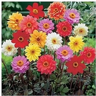 Flower Seeds : Giant Dahlia Flowered Golden Garden Balcony Seeds Packet (15 Packets) Garden Plant Seeds By Creative Farmer
