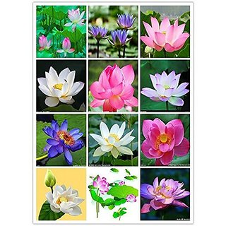 Flower Seeds : White Lotus / Waterlilly Flower Seeds Kamal Nelumbo Nucifera Flower 15 Seeds- Plant Seeds Flowers (19 Packets) Garden Plant Seeds By Creative Farmer
