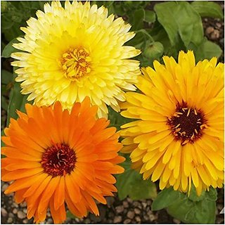 Flower Seeds : Scottish Marigold Yellow Balcony Garden Garden Home Garden Seeds Eco Pack Plant Seeds By Creative Farmer