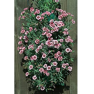 Flower Seeds : Dianthus Dianthus Brilliant Pots Of Plants (17 Packets) Garden Plant Seeds By Creative Farmer