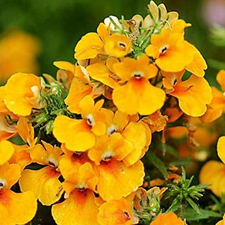 Flower Seeds : Nemesia Hy Mixed Plant Garden Seeds Outside Sitting Room (17 Packets) Garden Plant Seeds By Creative Farmer