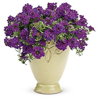 Flower Seeds : Verbena Ideal Mix Blue Garden Balcony Flowering Plants For Lawn Garden Home Garden Seeds Eco Pack Plant Seeds By Creative Farmer