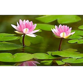 Flower Seeds : Lotus Flower Seeds Nelumbo Nucifera For Pots Seeds For Small Pot 15 Seeds- Plants Seeds For Home Decor (20 Packets) Garden Plant Seeds By Creative Farmer