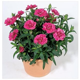 Flower Seeds : Carnation Mix (Dianthus Caryophilous Chaubaud) Seeds Flower Seeds Ornamental Rare Color (25 Packets) Garden Plant Seeds By Creative Farmer