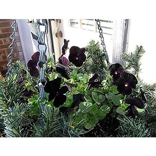 Flower Seeds : Pansy-Black Penther Home Garden Balcony Flower Seeds Planting Seeds (25 Packets) Garden Plant Seeds By Creative Farmer