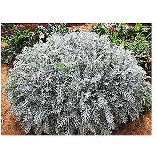 Flower Seeds : Cineraria-Silver Dust Seeds For Porch Garden Home Garden Seeds Eco Pack Plant Seeds By Creative Farmer