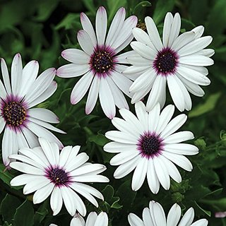 Flower Seeds : Dimorphothica-White King Mixed Seeds For Indian Climate (17 Packets) Garden Plant Seeds By Creative Farmer