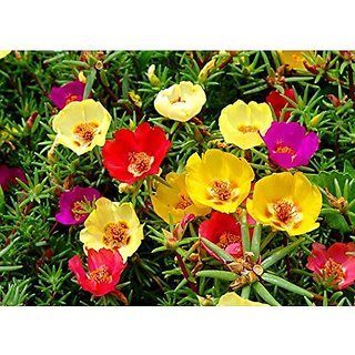 Flower Seeds : Portulaca Basket Flower Mixed -V1 Mix Flowering Plants Seeds Plant Seeds For Home Decor (25 Packets) Garden Plant Seeds By Creative Farmer