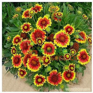 Flower Seeds : Brown-Eyed Susan Flower Plant Seeds Home Garden (16 Packets) Garden Plant Seeds By Creative Farmer