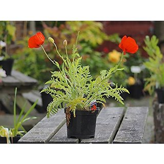 Flower Seeds : Red Poppy Garden Plants Seeds Garden Seeds Variety Pack Garden Home Garden Seeds Eco Pack Plant Seeds By Creative Farmer
