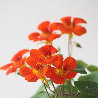 Flower Seeds : Nasturtium Perennial Seeds Garden Seeds Winter Plants Seeds Outdoor Garden Home Garden Seeds Eco Pack Plant Seeds By Creative Farmer