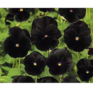 Flower Seeds : Pansy Flower Seeds Black Penther Home Garden Flower Seeds Semi Indoor Suitable (16 Packets) Garden Plant Seeds By Creative Farmer