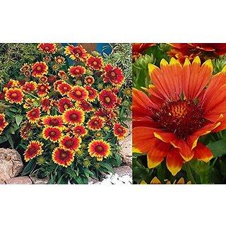 Flower Seeds : Sundance Seeds Mixed Colour Seeds (14 Packets) Garden Plant Seeds By Creative Farmer