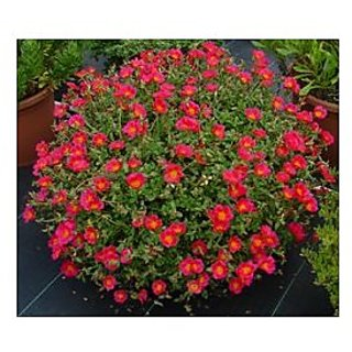 Flower Seeds : Portulaca Home Depot Garden Seeds For Pots (14 Packets) Garden Plant Seeds By Creative Farmer