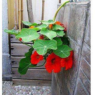 Flower Seeds : Nasturtium Succulent Type Plant Flower Seeds For Basket Climber Flower Plants- Container Gardening (18 Packets) Garden Plant Seeds By Creative Farmer