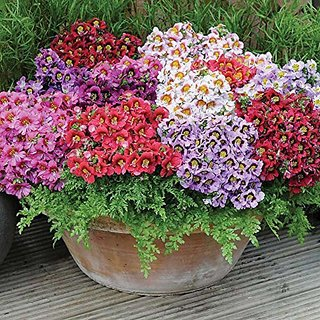Flower Seeds : Schizanthus Perennial Plant Flowers Garden Seeds Online Garden Home Garden Seeds Eco Pack Plant Seeds By Creative Farmer