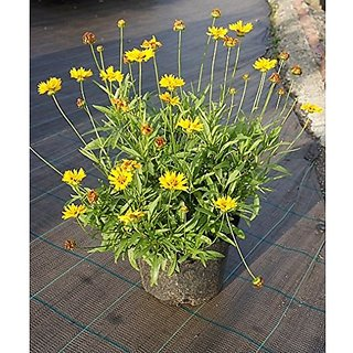 Flower Seeds : Coreopsis Dwarf Seeds Plant Seeds For All Seasons Garden Home Garden Seeds Eco Pack Plant Seeds By Creative Farmer